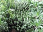 Salvia, rosmarin, timjan